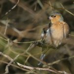 Male Chaffinch by Harry Appleyard, Howe Park Wood 7 February 2017