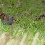 Water Rail by Harry Appleyard, Tattenhoe Linear Park 16 February 2017