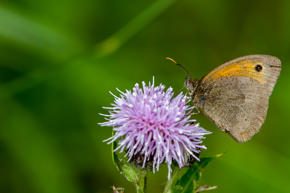 Meadow Brown by Peter Hassett,  Grendon and Doddershall Woods. 12 July2013