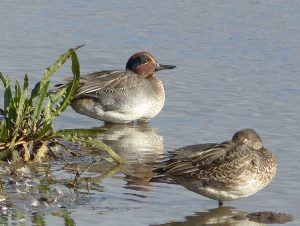 Teal by Diana Parsons, Titchwell RSPB Reserve 3 October 2016