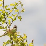 Whitethroat by Peter Hassett, Rainham Marsh, 14 May 2017