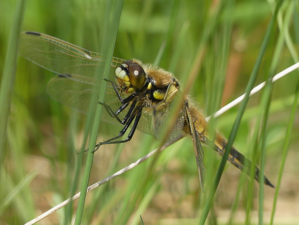 Four-spotted Chaser by Harry Appleyard, Tattenhoe Park 2 May 2017