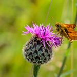 Large Skipper by Peter Hassett, College Lake 18 June 2017