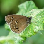 Ringlet by Peter Hassett, College Lake 18 June 2017