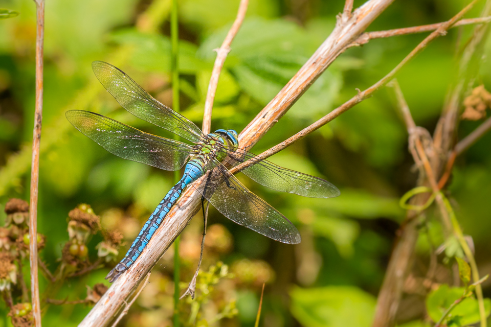 Emperor Dragonfly (male) ©Peter Hassett Bucknell Wood, 8 July 2017