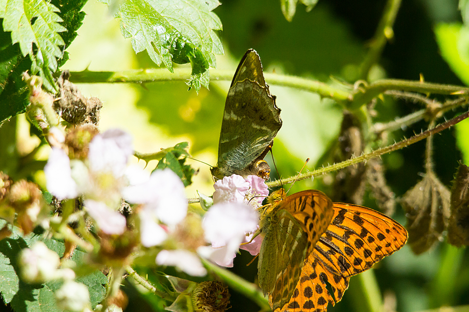 Silver-washed Fritallary (male and valezina form) ©Paul Young, Bucknell Wood 8 July 2017