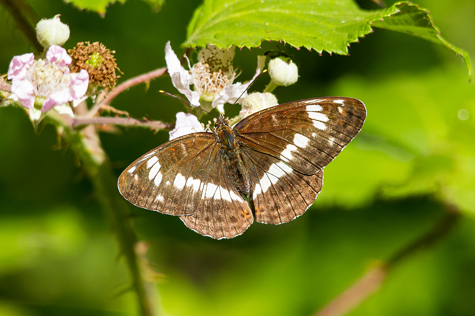 White Admiral ©Paul Young, Bucknell Wood 8 July 2017