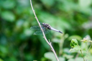 Scarce Chaser Dragonfly by Martin Kincaid, Linford Lakes NR 27 July 2017