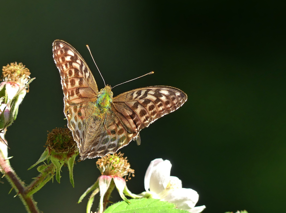 Silver-washed Fritillary (valezina form) ©Kevin Booden, Bucknell Wood 8 July 2017