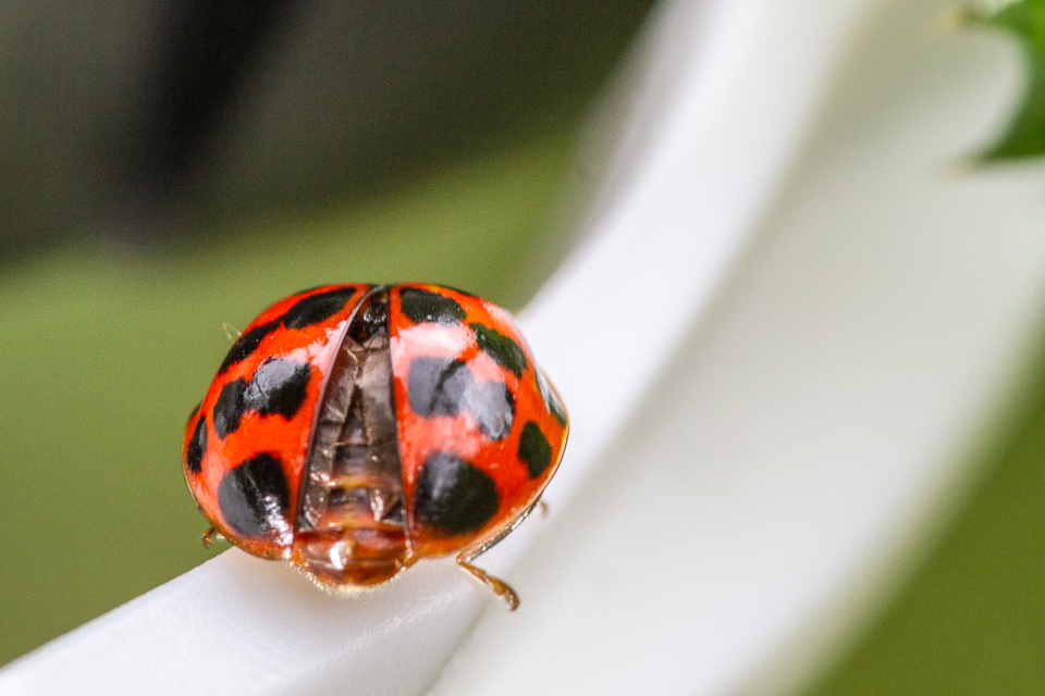 Harlequin Ladybird  ©Peter Hassett at Preston Montford 4 August 2015