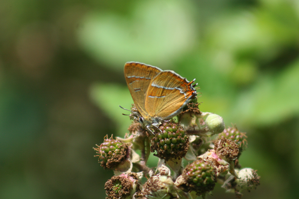 Brown Hairstreak ©Martin Kincaid, Finemere Wood 25 July 2015