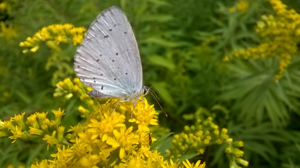 Holly Blue on Goldenrod ©Martin Kincaid, Stonepit Field 13th August 2017