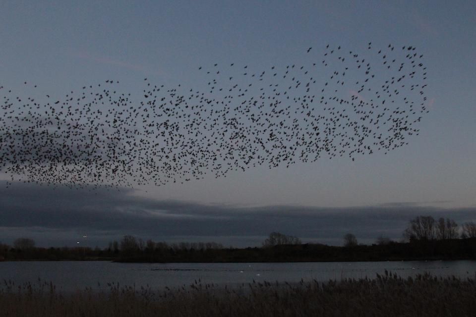 Starling Murmuration by Ann Strutton, Willen Lake 26 November 2017