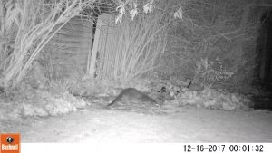 Otter at Newport Pagnell by David Kirkbright 16 December 2017