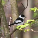 Collared flycatcher by Peter Dunn and Naturetrek Ltd