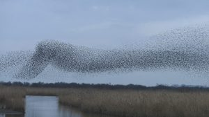 Starling Murmuration ©Harry Appleyard