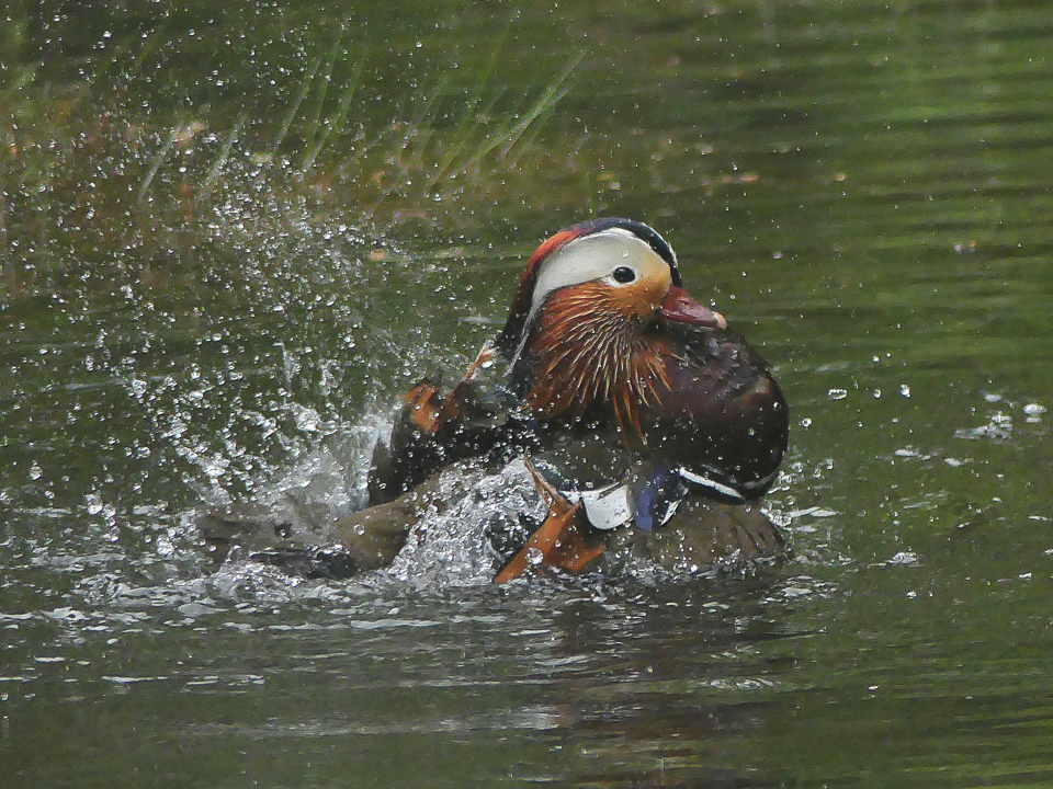 Mandarin Duck ©Janice Robertson, Yarner Wood, Devon. 20 May 2016
