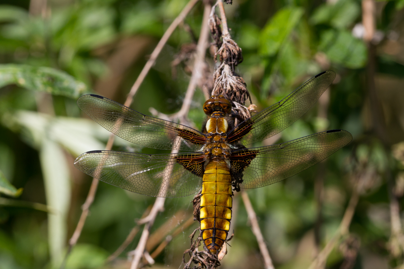 Broad-bodied Chaser, Linford Lakes Nature Reserve, 26May13, Peter Hassett