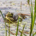 Marsh Frog by Peter Hassett, Rainham Marsh 15 May 2017
