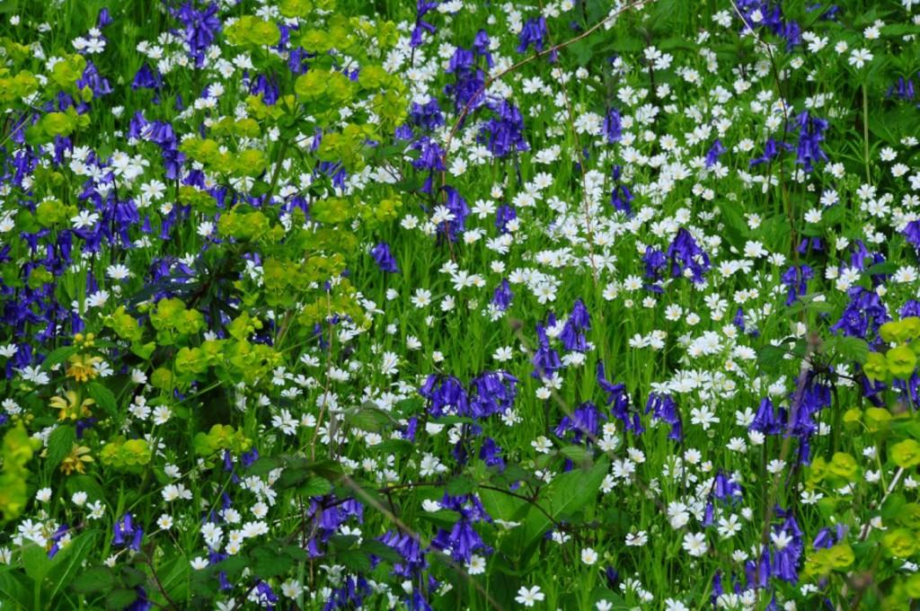 Bluebells by Alan Piggott