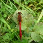 Ruddy Darter in Little Linford Wood - 2014