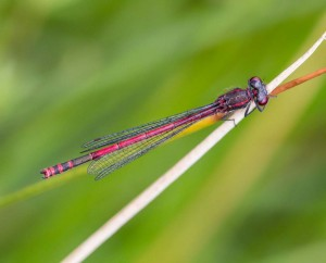 Large Red Male Damselfly, taken at Cothill Fen on 14Jun14 by Peter Hassett