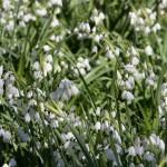 Ramsons (Allium ursinum)