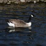 Barnacle Goose by Peter Hassett, Kew Gardens, 12Apr15