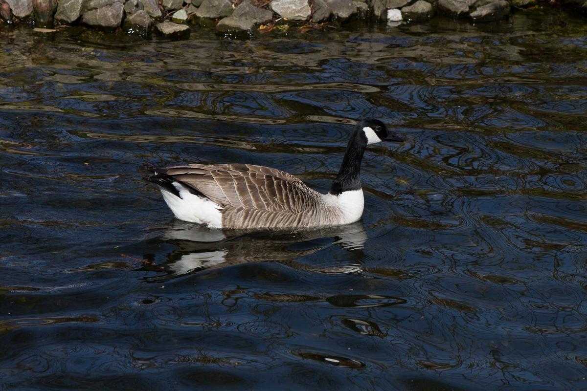 Canada Goose by Peter Hassett, Kew Gardens, 12Apr15
