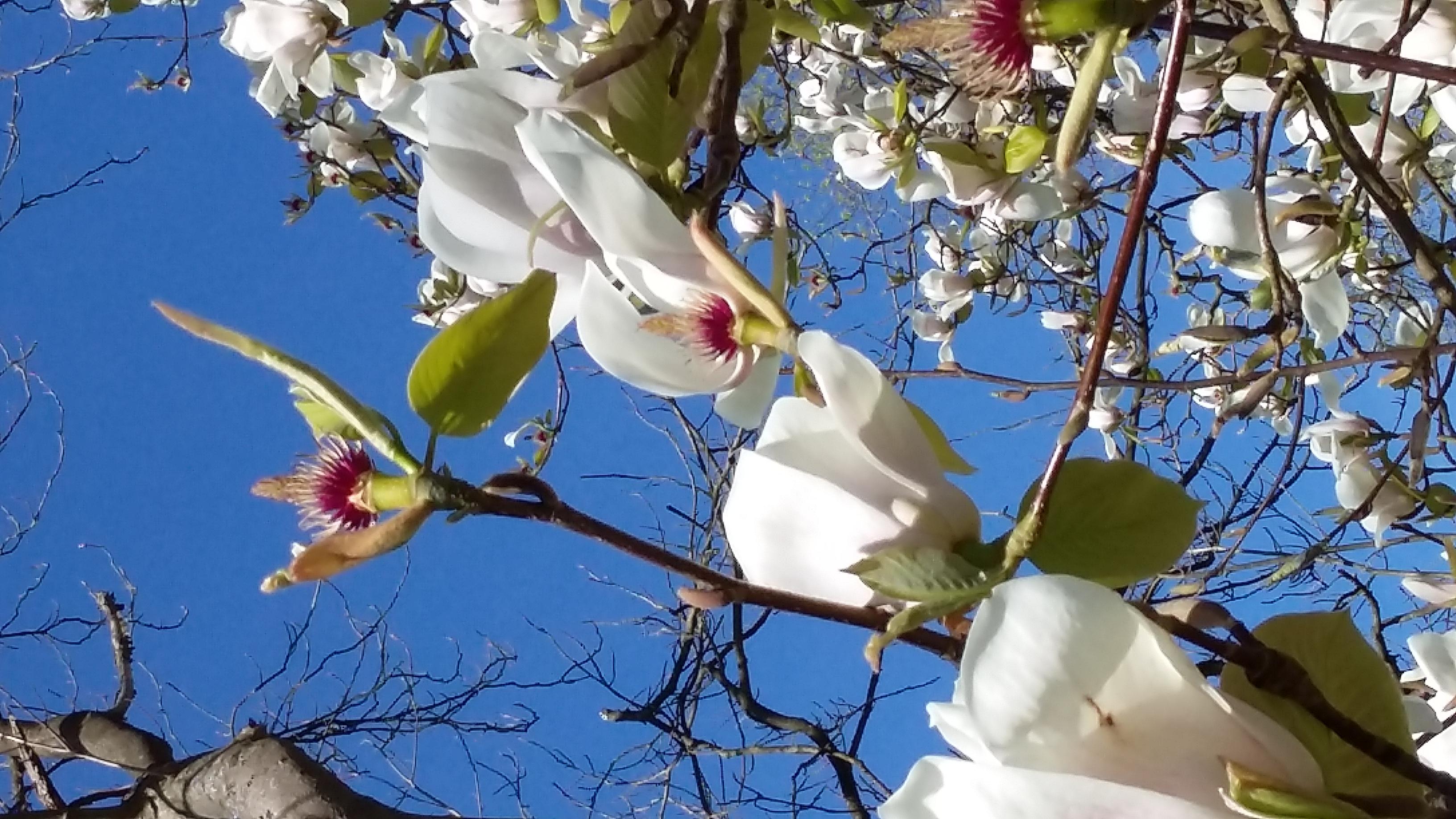Magnolia by Jenny Mercer