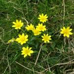 Celandine by Julie Lane, Dorset. 30Mar15