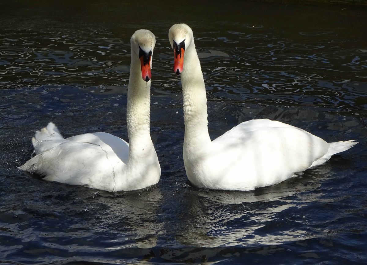 Mute Swans by Julie Lane, Abbotsbury in Dorset. 31Mar15