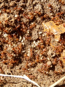 A colony of ants (probably Myrmica rubra), warm their overwintered larvae under a HESC  corrugated iron snake/lizard refuge