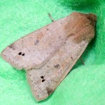 Twin-spotted Quaker moth
