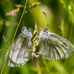 A pair of Wood Whites mating in Salcey Forest, by Peter Hassett 16Jun15