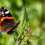 Red Admiral at Linford Wood