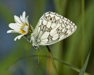 Marbled White Melanargea galathea