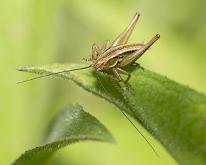 Nymph of Roesel's Bush Cricket Metrioptera roeselii