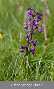 Grren-winged Orchid in Pilch Fields