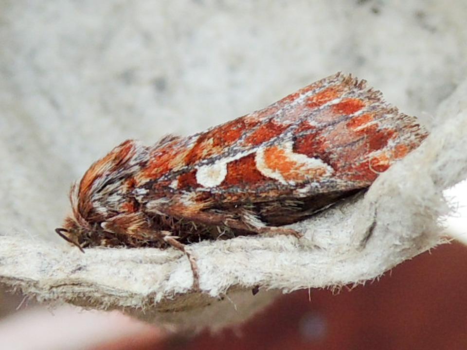 Pine Beauty moth