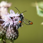Red-tipped Clearwing at Wolverton Mill by Peter Garner