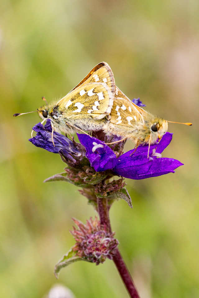 Silver spotted skippers in copula
