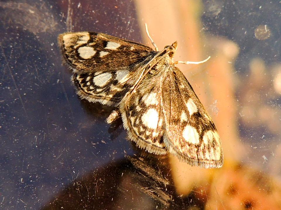 Anania coronata 18Jul15