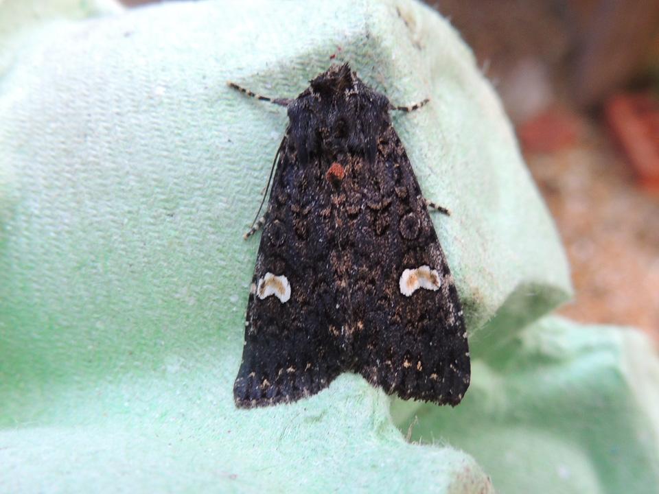 Dot Moth 06Jul15