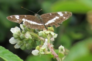 White Admiral photographed by Tony Wood