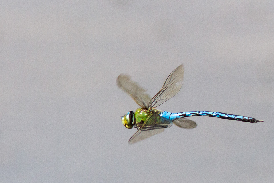 Southern Hawker - Stony Stratford Nature Reserve