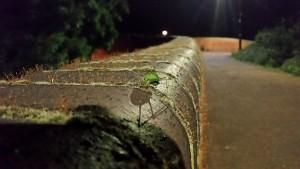 Bush Cricket Ovipositing