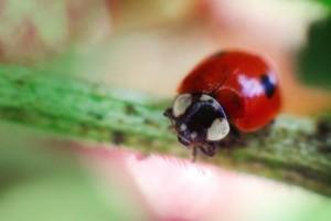 Two-spot-ladybird-Riccardo-Cuppini_623