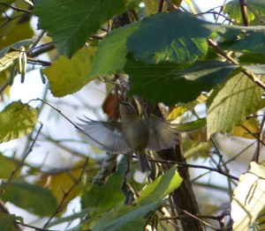 Firecrest at Linford Lakes Nature Reserve