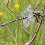 2016 Photo Competition 2nd Golden-ringed Dragonfly at Glen Affric by Julie Lan